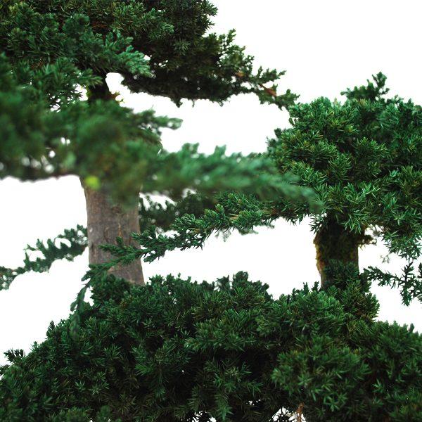 Il Bonsai Juniperus di Parodia