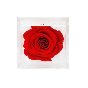 Cubo con rosa stabilizzata Rossa Parodia