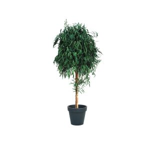L'Eucalyptus Nicoly di Parodia