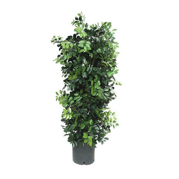 Parodia: pianta di gelsomino artificiale per vaso
