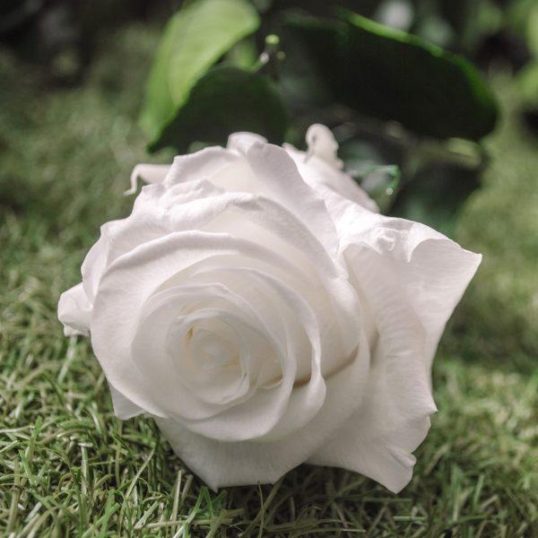 La rosa baccara bianca stabilizzata a gambo lungo di Parodia