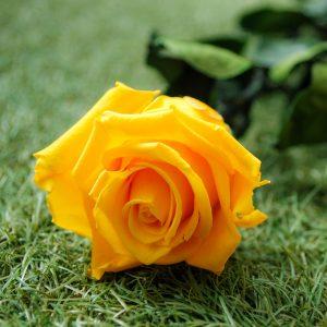 La rosa baccara gialla stabilizzata a gambo lungo di Parodia