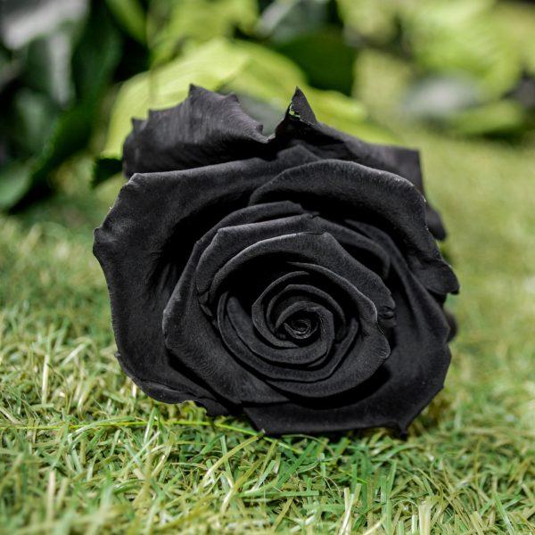 La rosa baccara nera stabilizzata a gambo lungo di Parodia