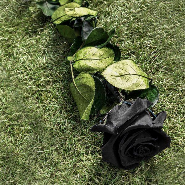 La rosa baccara stabilizzata nera a gambo lungo di Parodia