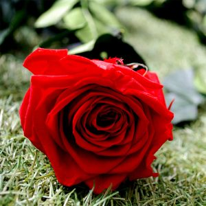Rosa baccara stabilizzata a gambo lungo rossa Parodia