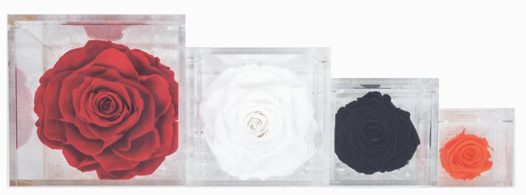 Le rose stabilizzate Parodia